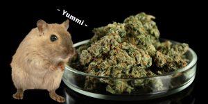 Nager fressen Cannabis