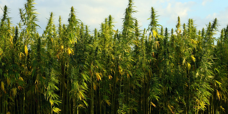 Cannabisernte