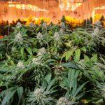 Alles Über Die Beleuchtung Für Den Cannabis Anbau
