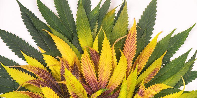 Cannabis Farben
