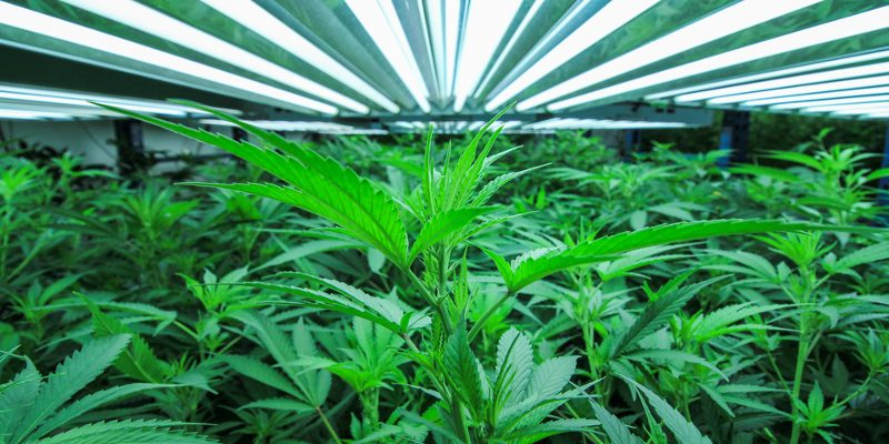 Cannabis Vegetative Phase