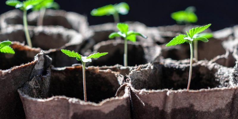 Cannabis Setzlinge