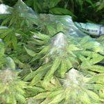 Cannabis Spinnmilben Befall: Vorbeugen Und Bekämpfen