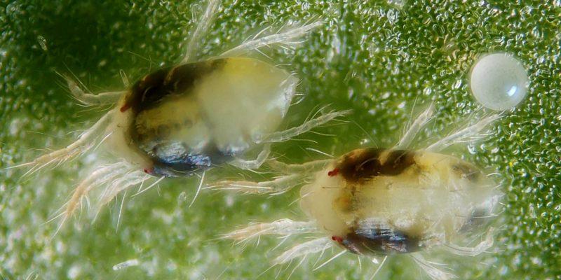 Cannabis Spinnmilben Unter Mikroskop