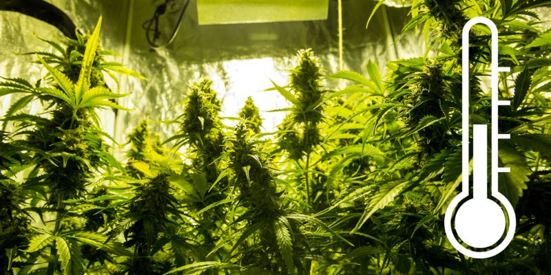 Cannabis Anbau Temperatur