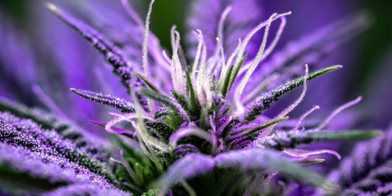 Cannabis Vorblüte