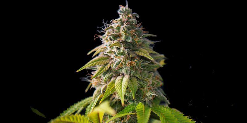 Wachstum Cannabis