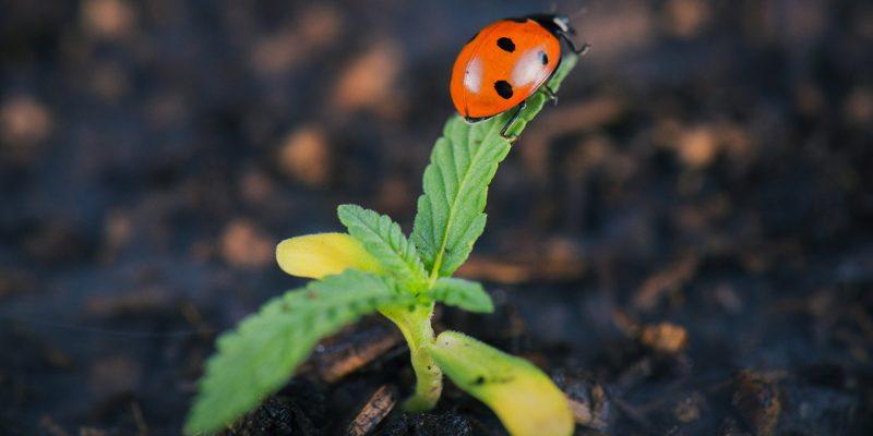 Marienkäfer auf Cannabis pflanze