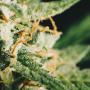 Unsere Top 10 Der Stärksten Cannabis Sorten (2018)