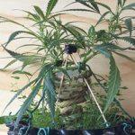 Cannabis Bonsai: Wie Der Anbau Funktioniert