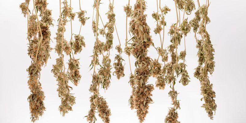 cannabis ernten und trocknen