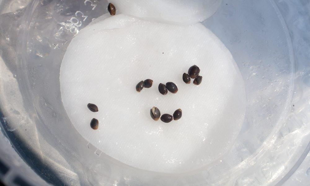 Cannabis Samen Keimen Anleitung