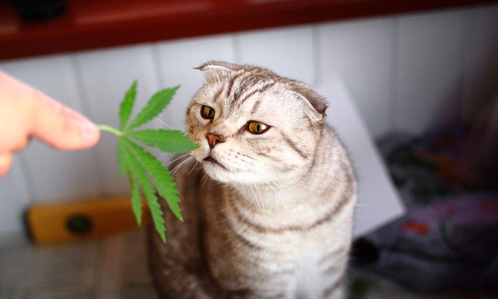 CBD Für Katzen: 7 Gesundheitliche Aspekte