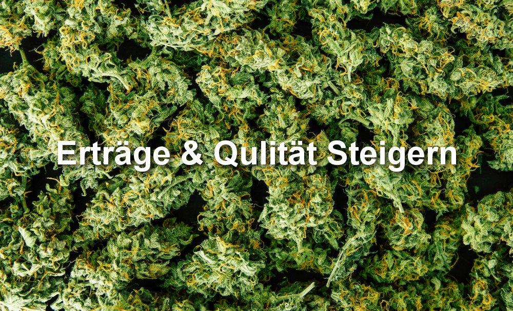 Cannabis Qualität und Erträge steigfern