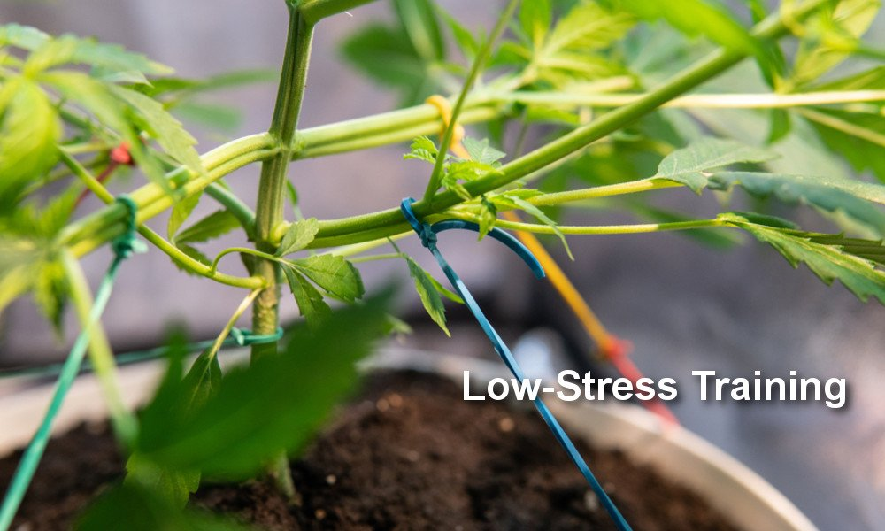 Cannabis Pflanze Low Stress Training