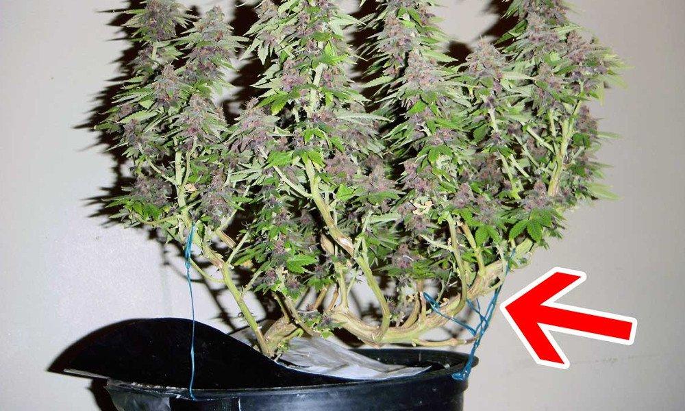 Cannabis Pflanze Topping Anbau