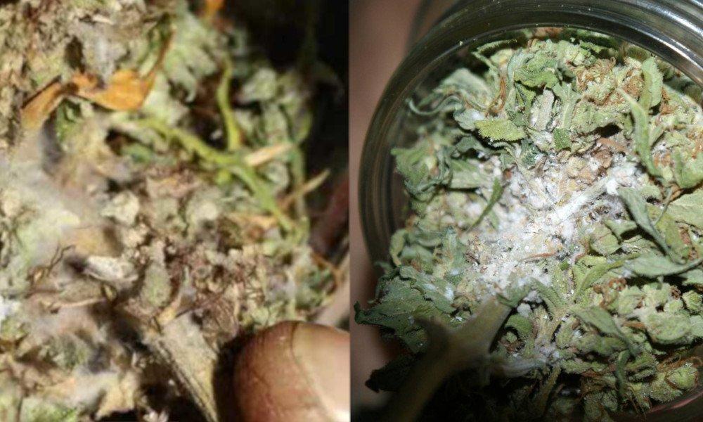 Cannabis Schimmel auf Blüten