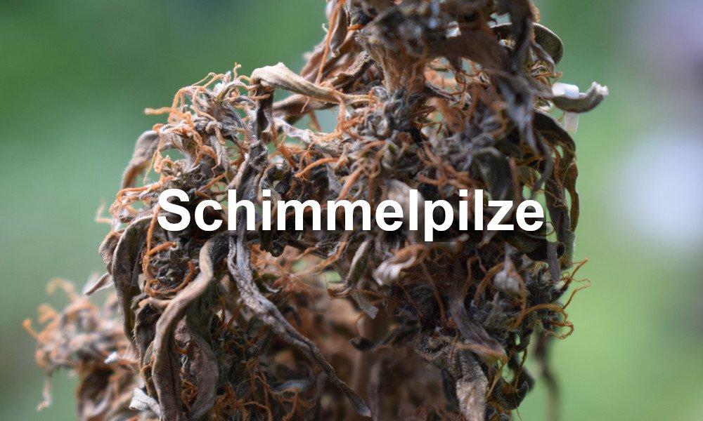 Cannabis Schimmelpilze