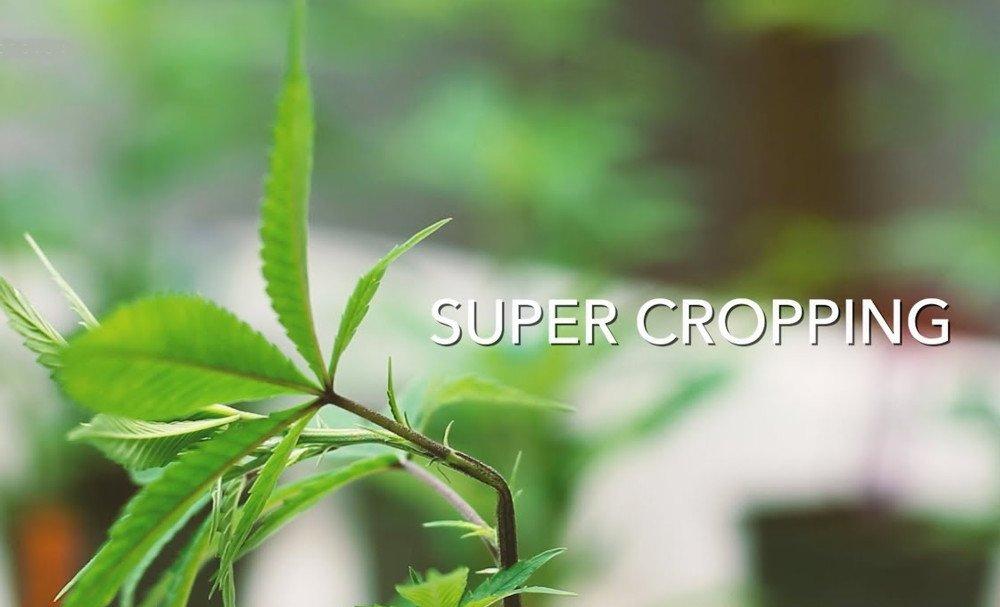 Cannabis Pflanze mit Knick im Stil - Super Cropping Anbau